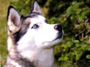 Cute Huskies 3