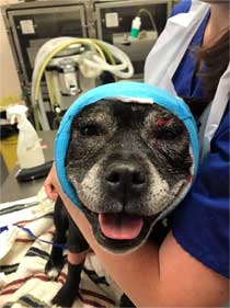 staffie bitten by fox